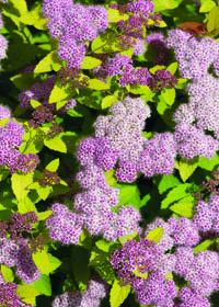 Goldmound Spirea Flower Close Up