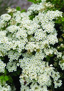 Tor Birchleaf Spirea Flower Close Up