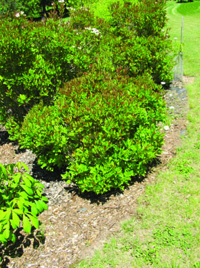 Bailey Compact American Cranberry Full Shrub