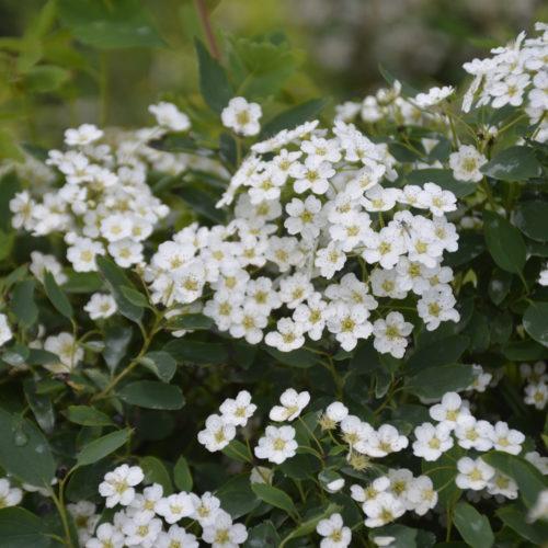 3-Lobed Spirea Flower Close Up