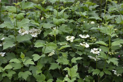 American Highbush Cranberry in Flower