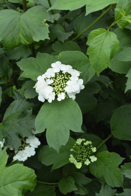 American Highbush Cranberry Flower Close Up