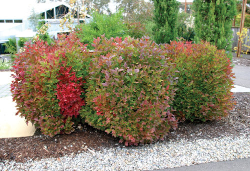 American Highbush Cranberry Fall Colours
