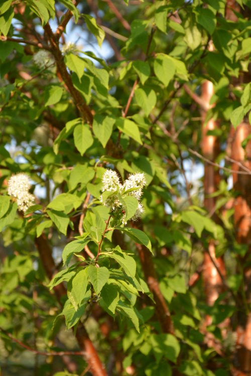 Amur Cherry Flower Close Up