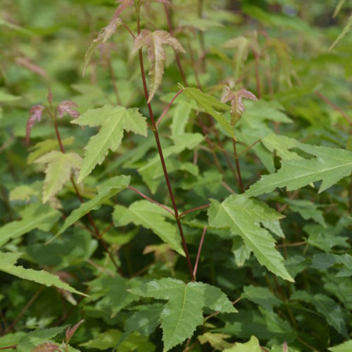 Amur Maple Shrub Foliage Close Up