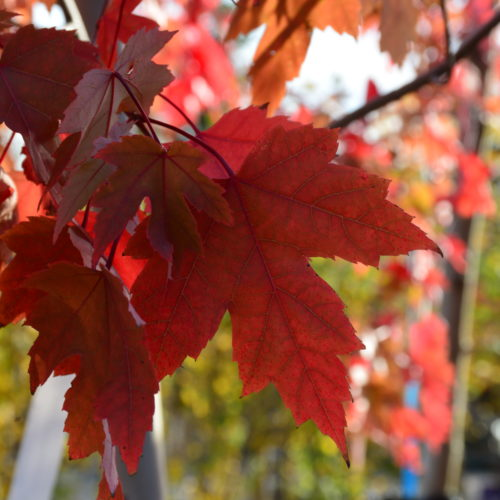 Autumn Blaze Maple Fall Colours