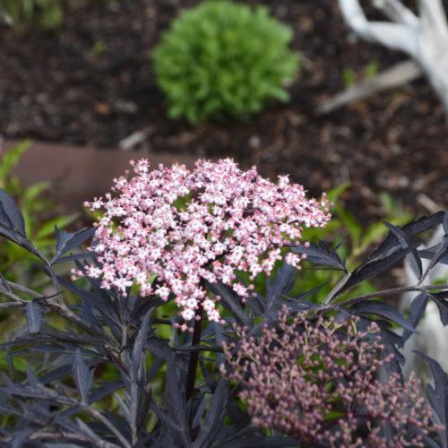 Black Lace Elder Flower Close Up