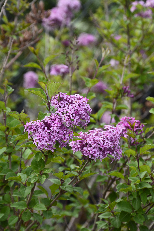 Bloomerang Lilac Flower Close Up