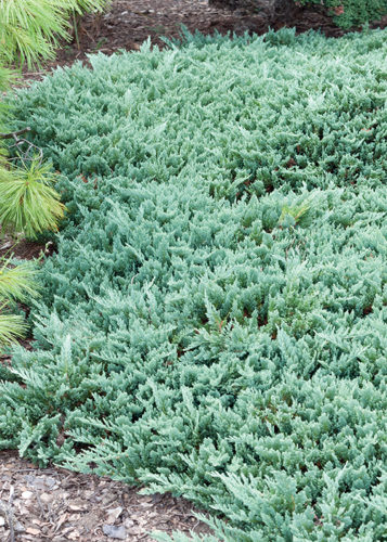 Blue Chip Juniper Full Shrub