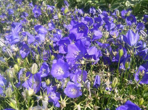Blue Clips Bellflower in Flower