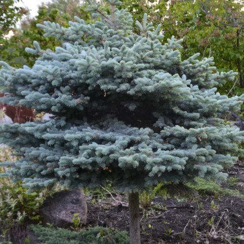 Blue Globe Spruce TG Full Shrub