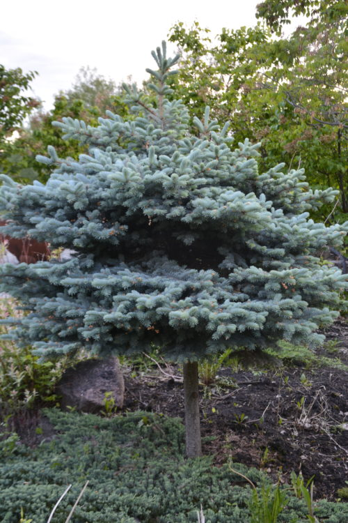 Blue Globe Spruce TG Full Shrub