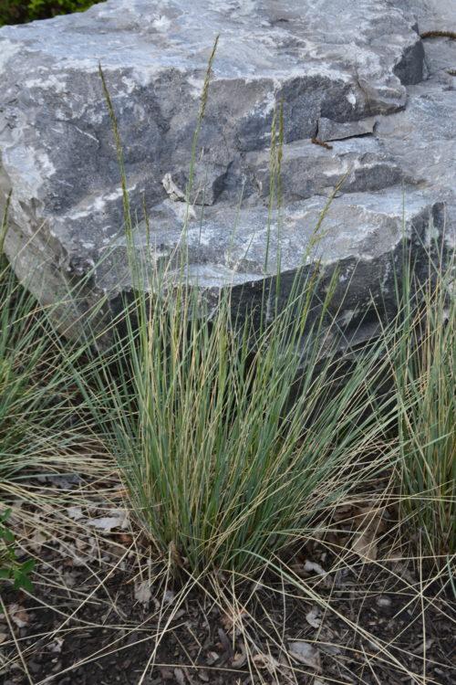 Blue Oat Grass in Full