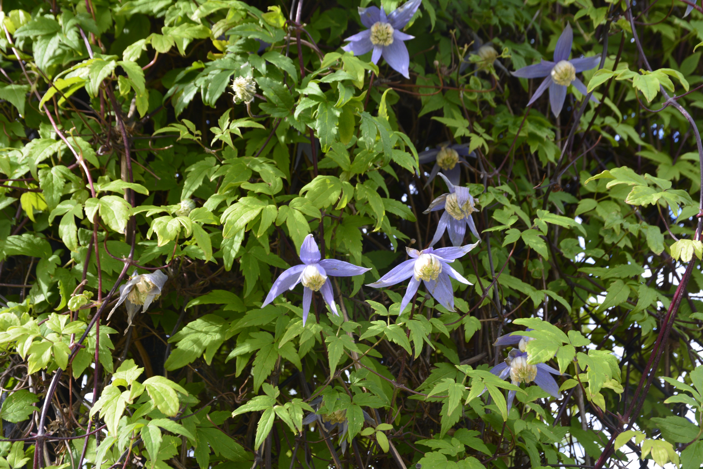 Bluebird Clematis Flower Close Up