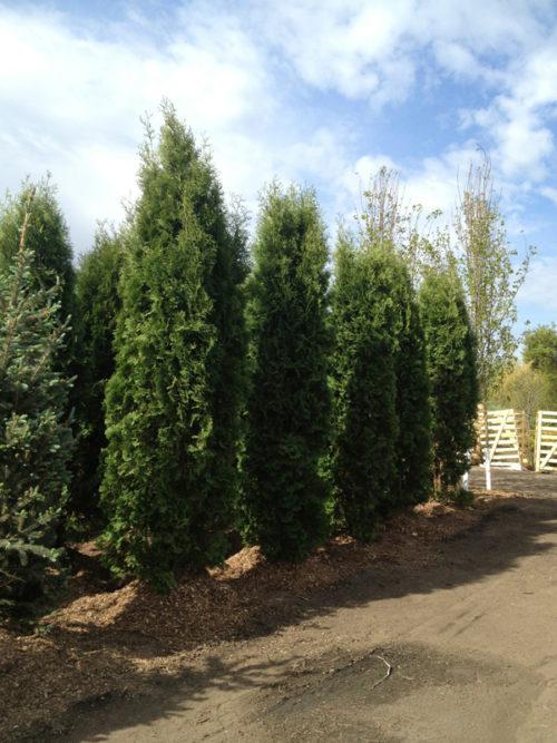 Brandon Cedar Full Tree