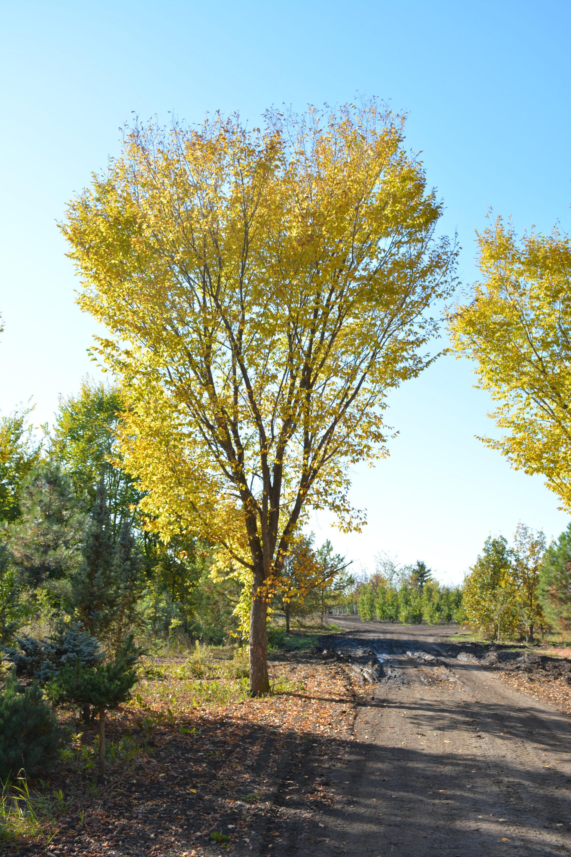 Brandon Elm Full Tree