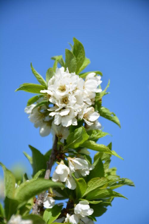 Brookgold Plum Flower Close Up