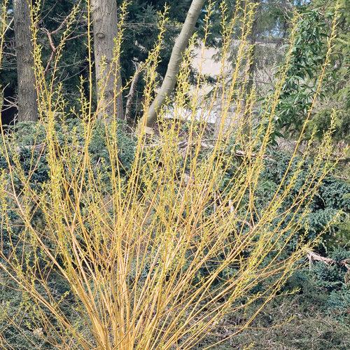 Bud's Yellow Dogwood Winter Interest