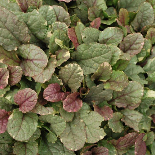 Burgundy Glow Bugleweed Foliage Close Up