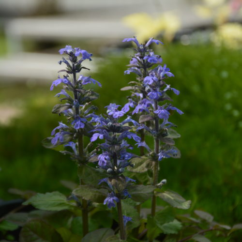 Bronze Beauty Bugleweed Flower Close Up