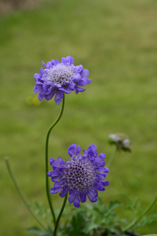 Butterfly Blue Pincushion Flower Close Up