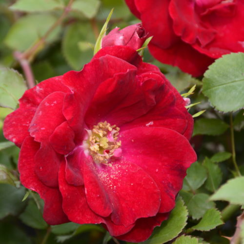 Champlain Rose Flower Close Up