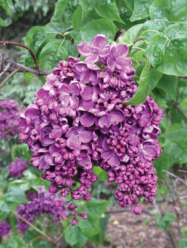 Charles Joly French Lilac Flower Close Up