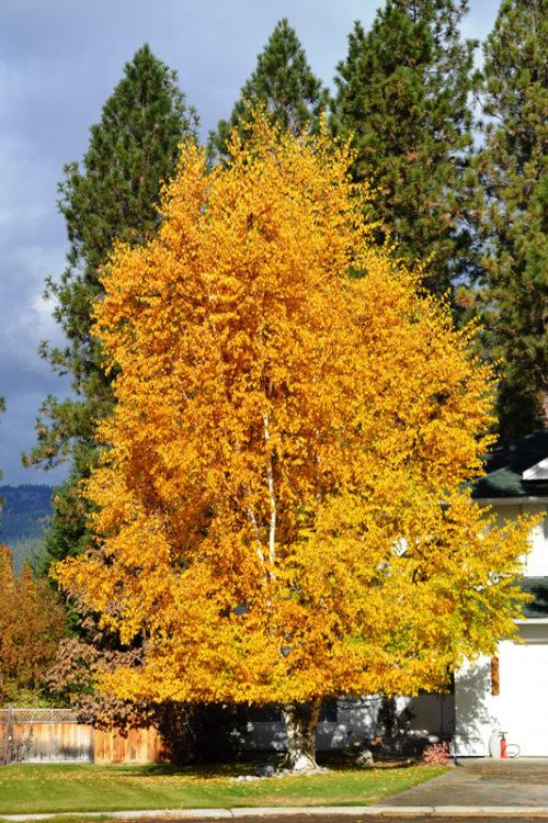 Clump Paper Birch Fall Colours