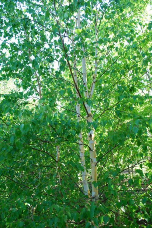 Clump Paper Birch Full Tree