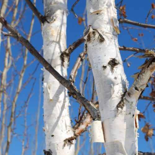 Clump Paper Birch Bark Close Up