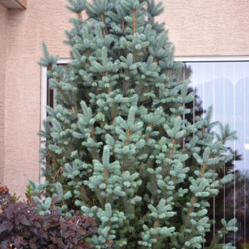Columnar Blue Spruce Full Tree