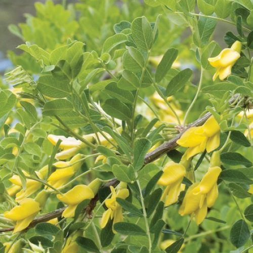 Common Caragana Flower Close Up