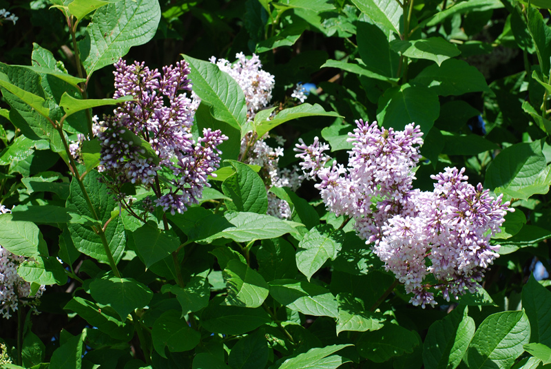 Common Lilac Flower Close Up