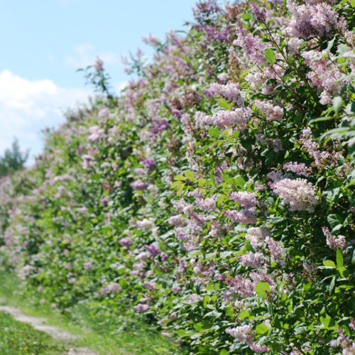 Common Lilac in Flower