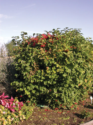 Compact European Cranberry Full Shrub