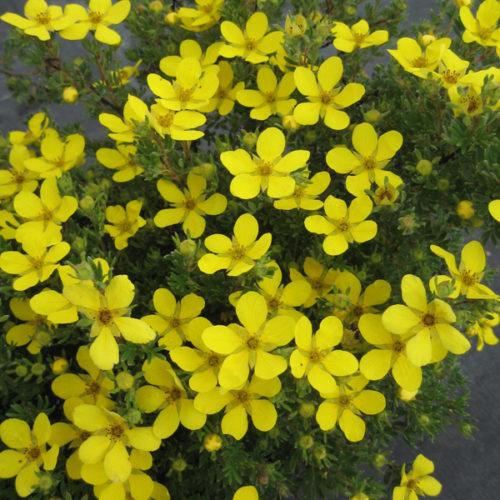 Coronation Triumph Potentilla in Flower