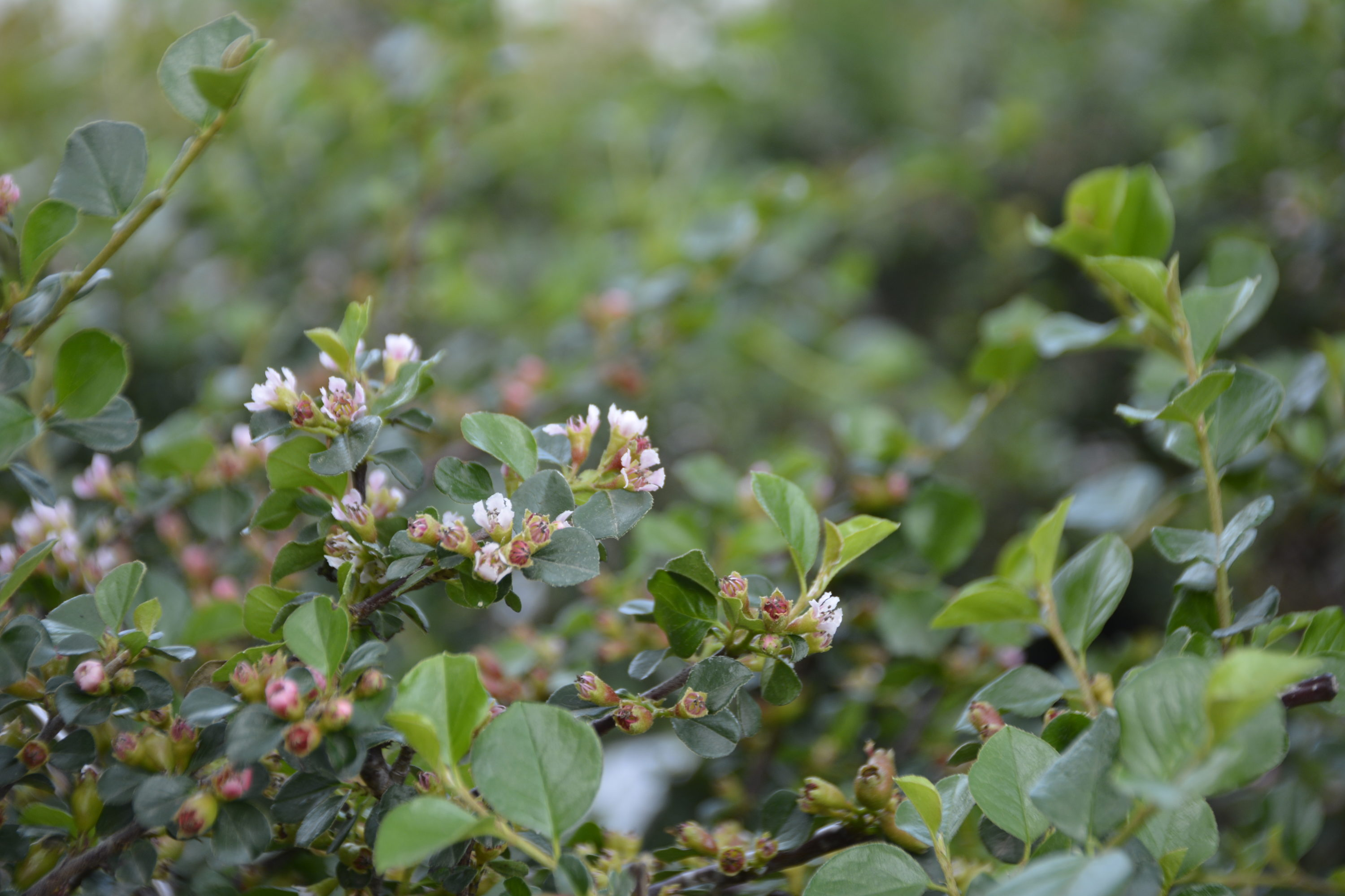 Cranberry Cotoneaster Flower Close Up