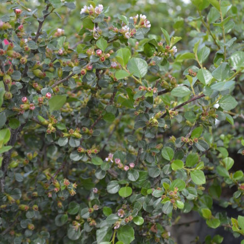 Cranberry Cotoneaster in Flower