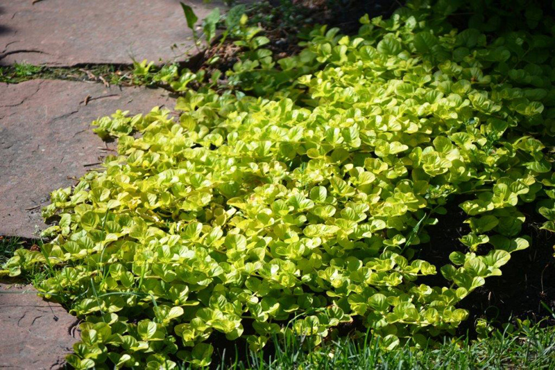 Creeping Jenny in Full