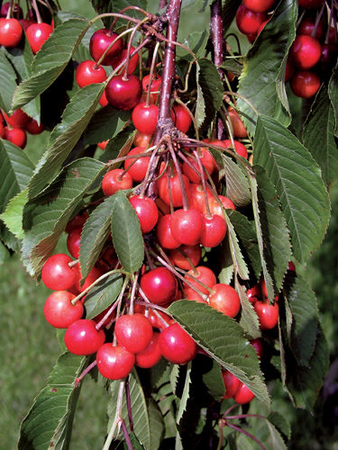 Cupid Cherry Tree Fruit Close Up