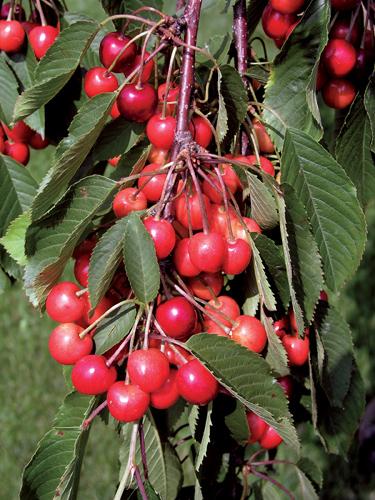 Cupid Cherry Tree Fruit Close Up