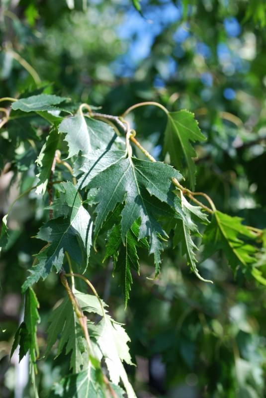Weeping Cutleaf Birch Foliage Close Up