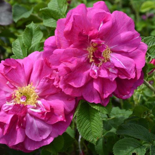 David Thompson Rose Flower Close Up