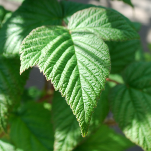 Double Delight Raspberry Foliage Close Up
