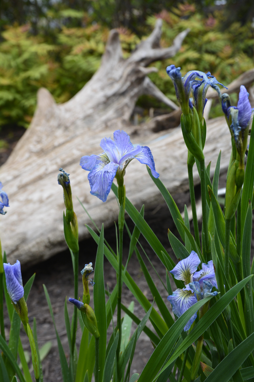 Dwarf Artic Iris Flower Close Up