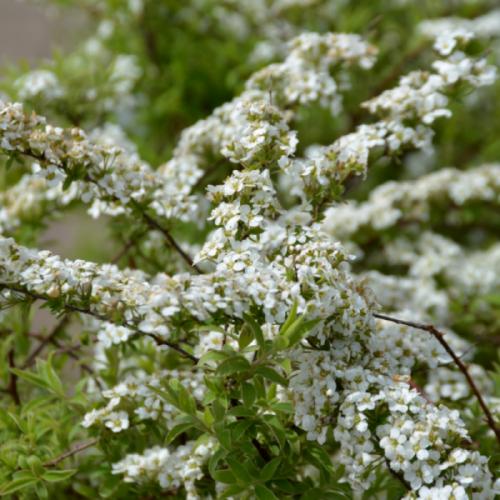 Dwarf Garland Spirea Flower Close Up