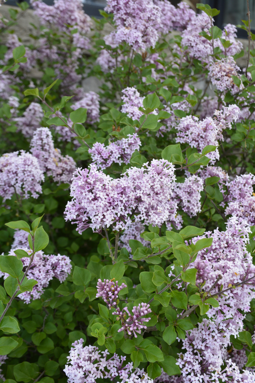 Dwarf Korean Lilac Flower Close Up