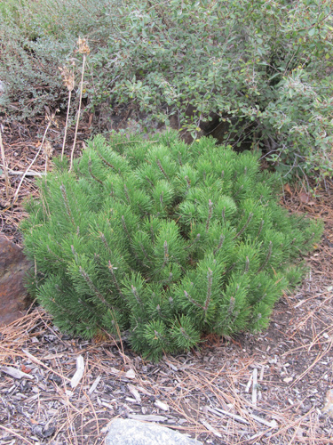Dwarf Mugo Pine Full Shrub
