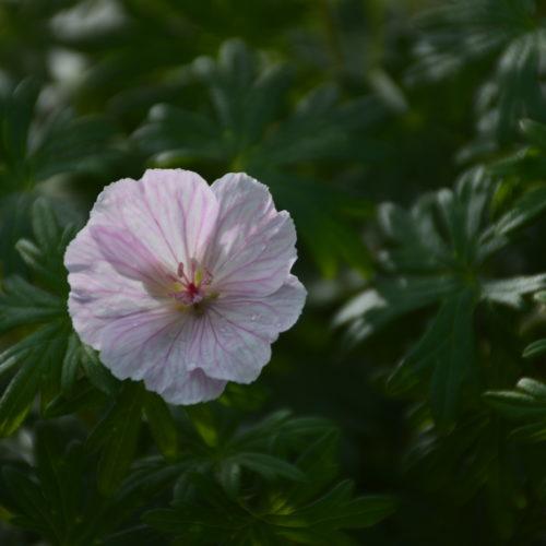 Dwarf Bloody Geranium Flower Close Up