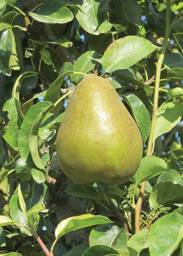 Early Gold Pear Fruit Close Up